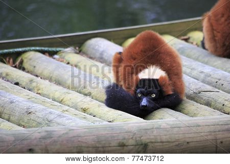 Red ruffed lemur.