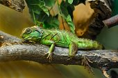 One little green lizard on the branch poster
