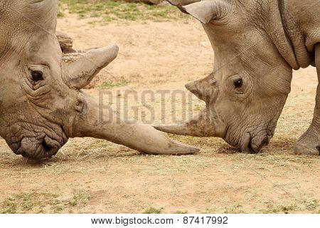 White Rhinoceros Battle 8