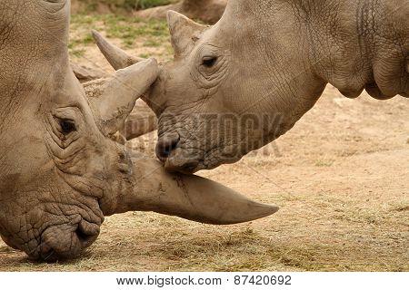 White Rhinoceros Battle 14