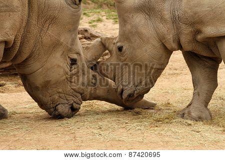White Rhinoceros Battle 15