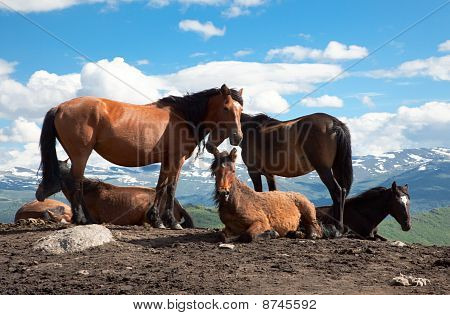 A herd of horses on the mountain pastures in the background of snowy peaks poster