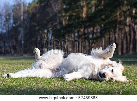Golden retriever turns somersaults on green lawn.