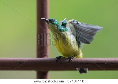 Collared Sunbird (hedydipna Collaris) Stretching And Displaying On A Bar