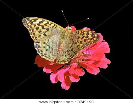 butterfly (Silver-washed Fritillary)