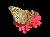 butterfly (Silver-washed Fritillary) sitting on flower (zinnia)  over black poster