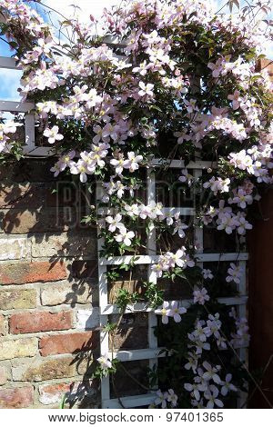 Montana Clematis on a white trellis against a brick wall poster