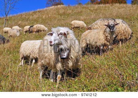 Sheep on a hillside.