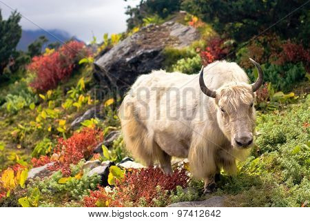 Wild white yak (bull) on a colorful grass in Himalayas.
