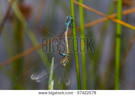 Blue-tailed-damselfly (ischnura Elegans)