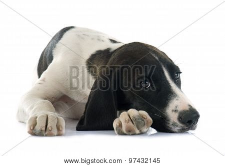 puppy Braque d'Auvergne in front of white background poster