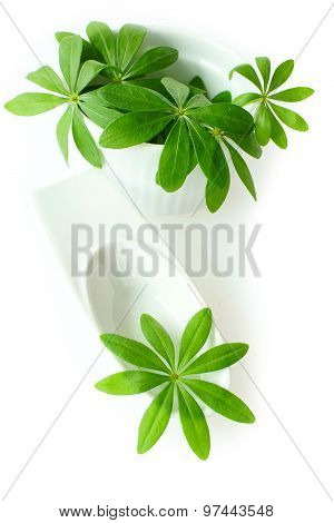 Fresh sweet woodruff leaves in a white porcelain dish on white Background poster