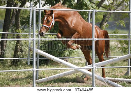 Young Thoroughbred Horse In Action Over An Obstacle Summertime Outdoor