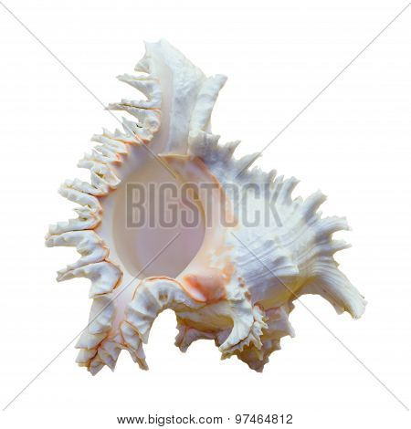Shell Of Chicoreus Ramosus, Ramose Murex