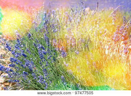 Blossoming Of Lavender Flowers In Valensole, Provence. Vintage Style Toned