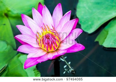 pink lotus flower in chiangmai  province Thailand.