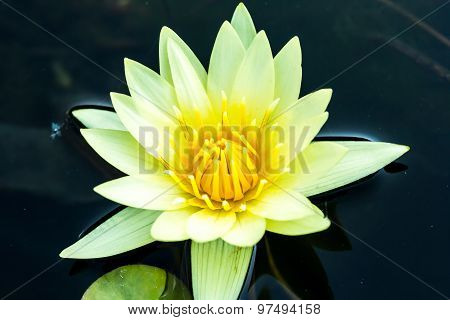 yellow lotus flower in chiangmai province Thailand.