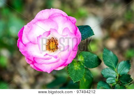 Pink Rose In Chiangmai Thailand
