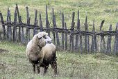 white sheep browse on the meadow. farm animal. poster