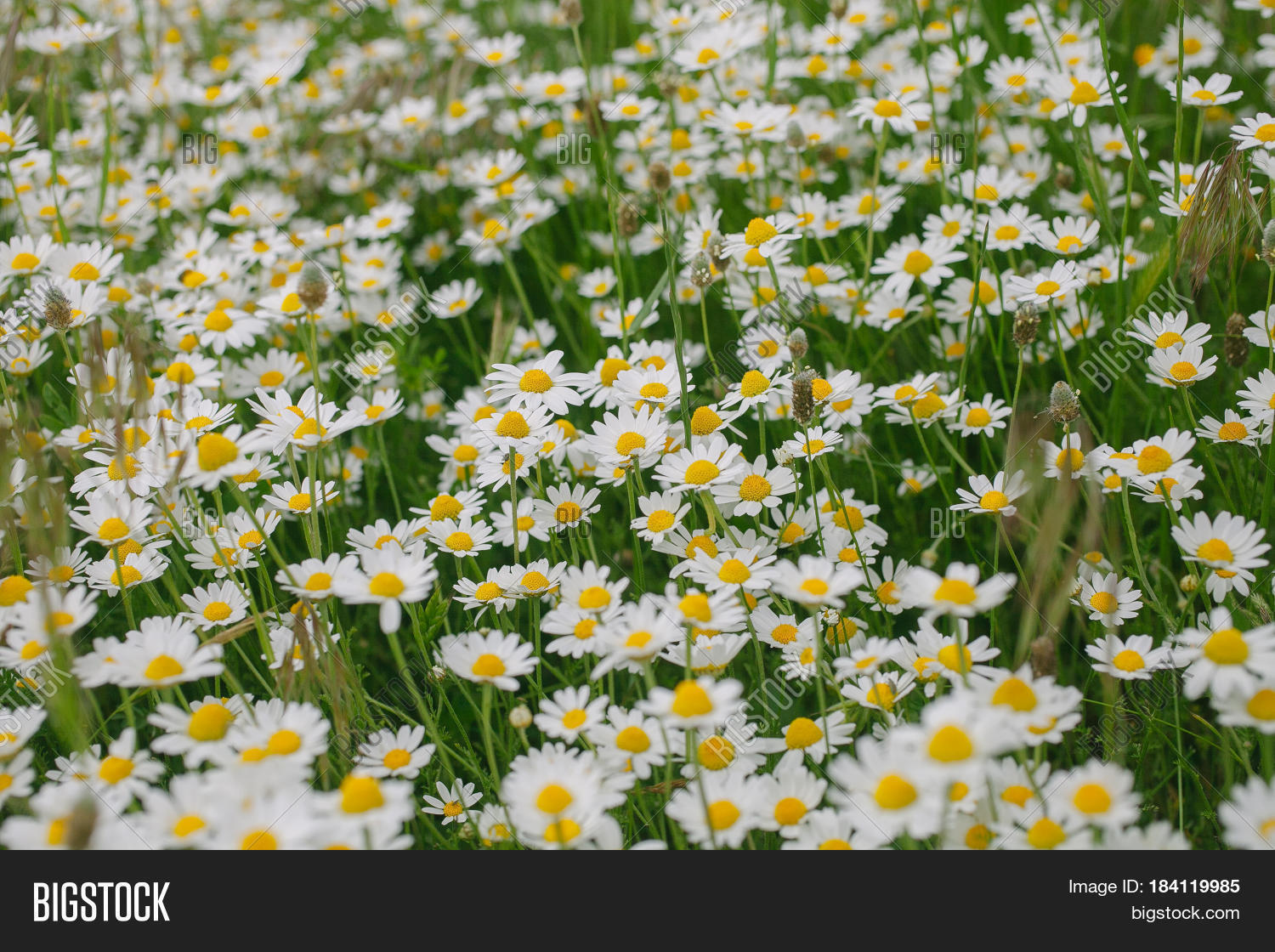 Camomile Flower Image Photo Free Trial Bigstock