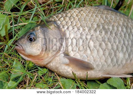 One Crucian Fish On Green Grass. Catching Freshwater Fish On Natural Background..
