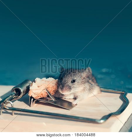 Cute house grey mouse or rat small rodent animal sitting at string mousetrap with bait indoors on blurred blue background copy space
