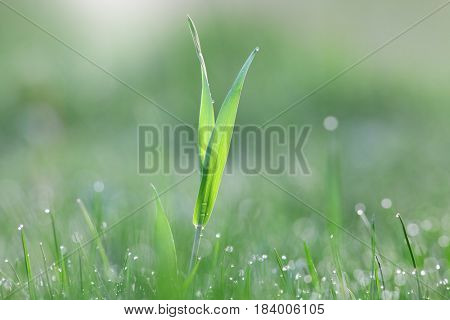 Close up shot of grass blades with dew on meadow