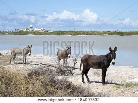 The group of donkeys on Grand Turk island (Turks & Caicos). poster