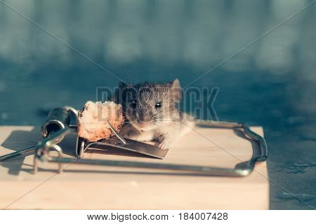 marketing and crisis cute house grey mouse or rat small rodent animal sitting at string mousetrap with bait indoors on blurred blue background. freedom hopelessness concept