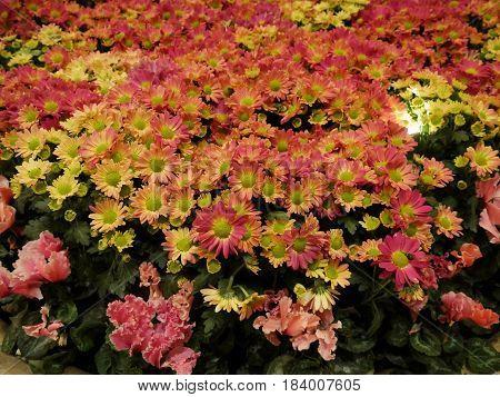 bunch of Perenial Gaillardia (Blanket flower) reddish and purplish perennial wild flower also called blanket flower