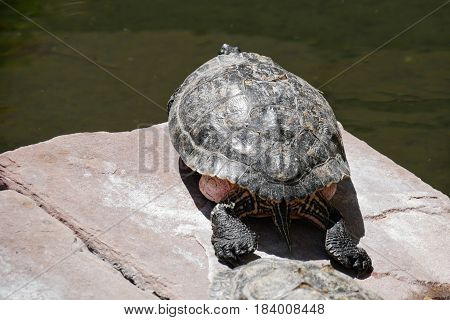 Turtle basking on a sunny day A turtle sleeps on top of a stone under the sun