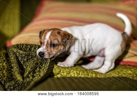 Jack Russell puppy playing with a green blanket.