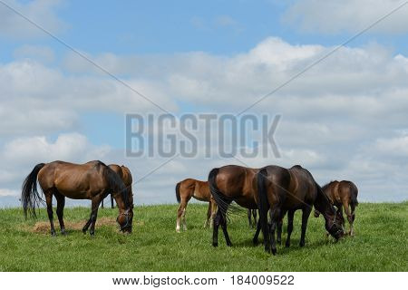 Horses in a Kentucky bluegrass field on a puffy cloud spring day.