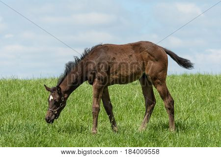 Horse foal in a Kentucky bluegrass field on a puffy cloud spring day.