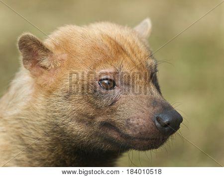Portrait of rare canis species - bush-dog