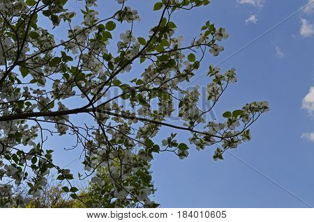 View of the sky from underneath the branches of a blooming dogwood tree.