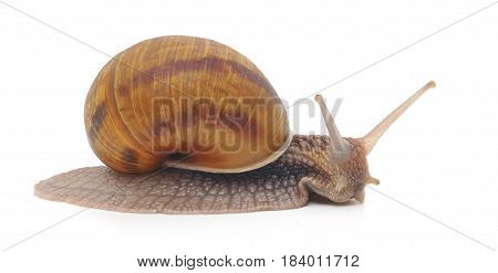 Brown garden snail on a white background.