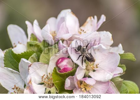 apple blossom tree bumble honey bee on flower collecting pollen closeup makro