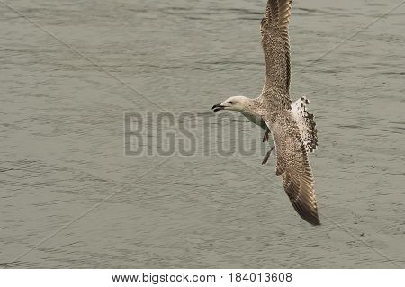 Great Black-backed Gull (Larus marinus) juvenile in flight above water of a Harbour