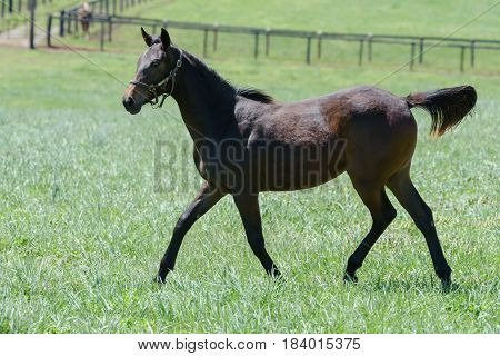 Thoroughbred horse in a Kentucky bluegrass field.