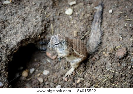 Animal close-up photography. Ground squirrels bserve the surroundings.