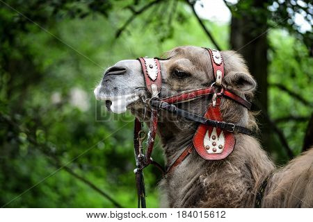 Animal close up photography Camel with bridle.