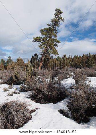 A tall ponderosa pine tree amongst the junipers leans with ground covered in snow and bushes on a winter day in Central Oregon.