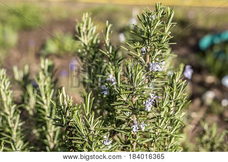 Rosemary blossom in a herb garden closeup detail color
