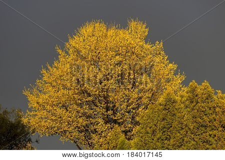 Large tree in spring leaves lit up bright yellow under sunlight in contrast to stormy sky background