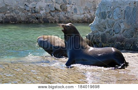 Victorious Male California Sea Lion chasing off the loser after  fighting on the marina boat launch in Cabo San Lucas Baja Mexico BCS MEX