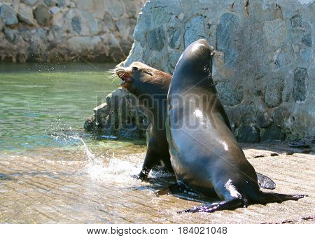 Male California Sea Lions fighting on the boat launch in Cabo San Lucas Baja Mexico