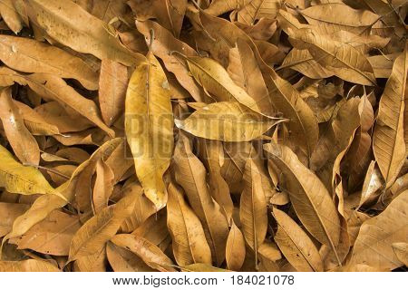 dry leave for nature backgroundmany stack mango dry leave