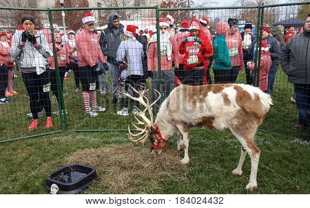Reindeer at the Rudolph Ramble race in Chicago, December 3rd, 2016