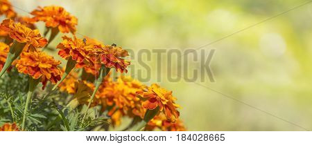Bright golden calendula marigolds for greeting card background for condolence funeral love care and remembrance